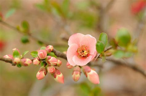 japanese summer flowers flowering quince lisa cox garden designs blog