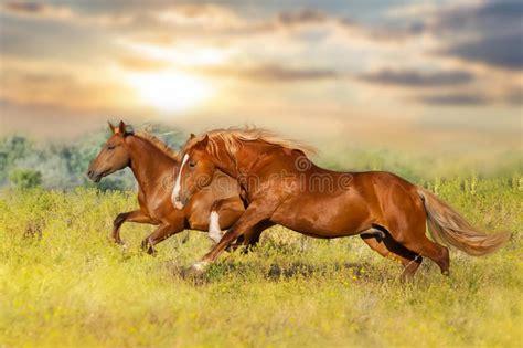 horse horses run meadow gallop
