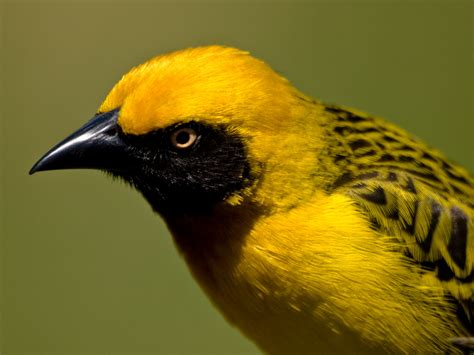 masked weaver bird google image result for http famouswonders com wp content gallery ngorongoro crater vitelline