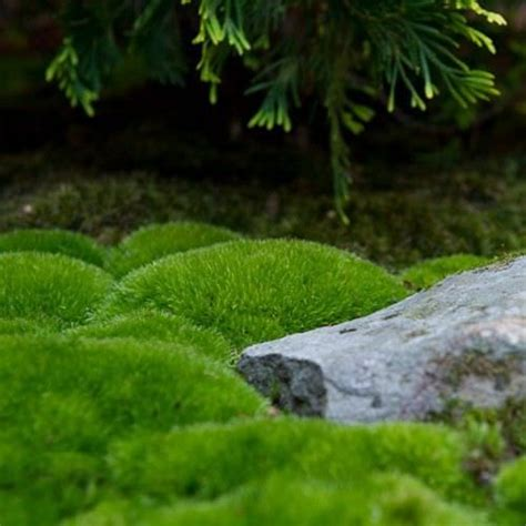 25 best moss for century backyard moss garden imgkid com the image kid has it
