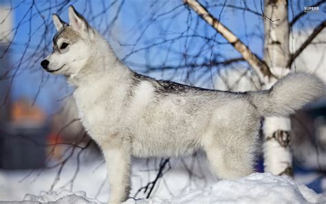 Information About Husky Puppies In Snow Wallpaper Yousense Info