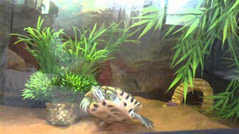aquarium tortue de floride tortue de floride premi 232 re quot mise 224 terre quot