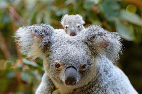 baby koala macadamia born at australia zoo 2017 popsugar australia news