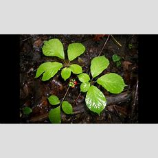 How To Identify Wild Ginseng With Berries In The Woods Youtube