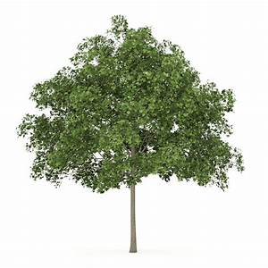 Common Maple 1 Acer campestre 3D Model c4d - CGTrader com