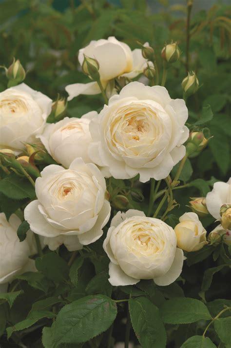most fragrant roses australia david austin english rose claire austin 175mm pot dawsons garden world