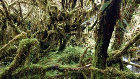 Polylepis Forest High In The Ecuadorian Andes Stock