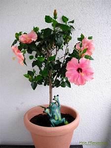 Hibiskus Pflege Zimmerpflanze : hibiskus mein pflanzenblog ~ A.2002-acura-tl-radio.info Haus und Dekorationen