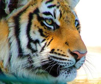caracteristicas del tigre