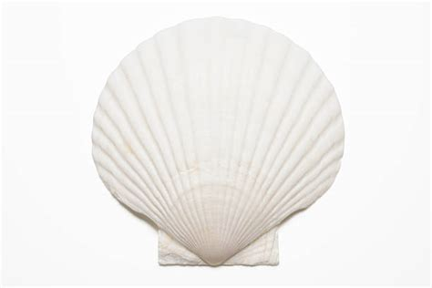 Royalty Free Seashell Pictures, Images And Stock Photos