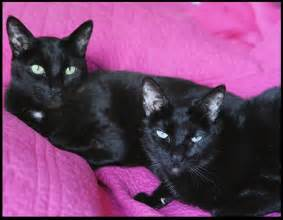 Black Siamese Cats