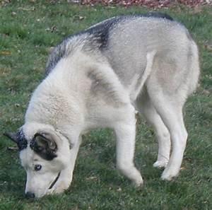 Cassy - Splash Coat Siberian Husky - Colors of the ...