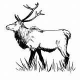 Elk Zentangle Pages Drawings Deer Template Coloring Printable Mountain Sketch Rocky Step Templates Eyes sketch template