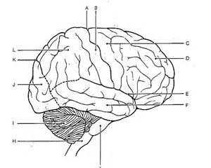Blank Brain Diagram Worksheet