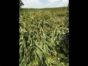 Severe Rainstorm Flattens Corn Field - YouTube