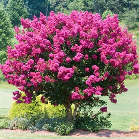 lilas en pot entretien lagerstroemia bergerac 174 plantes et jardins