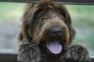 large wirehaired breeds breeds picture