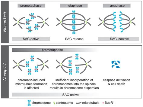 when and how is the spindle formed nusap is essential for chromatin induced spindle formation