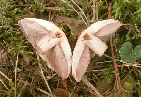 Agaricus silvaticus - meža atmatene