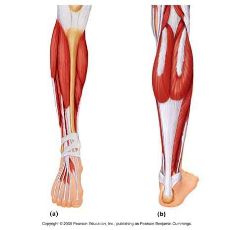 A pulled calf muscle can cause minor or severe pain in the calf, depending on the extent of the injury. Muscle: Lower Leg & Foot