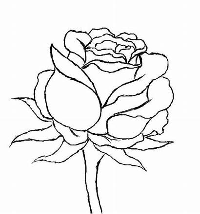 Rose Draw Drawing Flower Roses Step Drawings