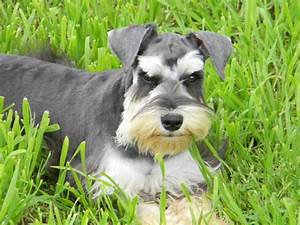 17 Best images about Schnauzers on Pinterest   Puppys ...