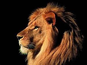 Lion Face Roaring | www.imgkid.com - The Image Kid Has It!