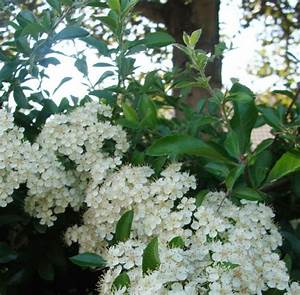 Wann Schneidet Man Hortensien Zurück : mein waldgarten wann schneidet man eine feuerdornhecke ~ Eleganceandgraceweddings.com Haus und Dekorationen