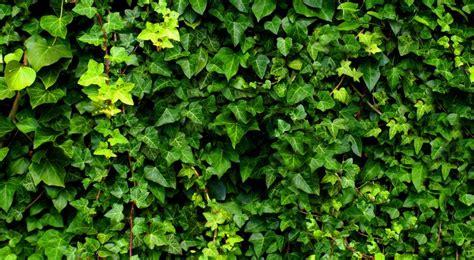couleur mur cuisine lierre grimpant plantation taille et entretien