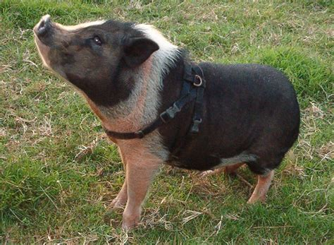 mini pot belly pig pinterest discover and save creative ideas