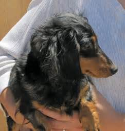Black and Tan Long Haired Dachshund Puppies