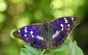 Matthew Oates, purple emperor butterfly expert | The Telegraph
