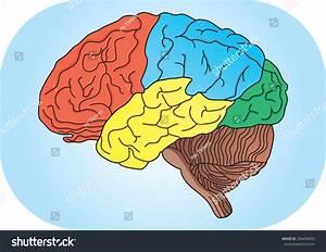 Vector Illustration Human Brain Stock Vector 286498493 ...