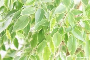 Ficus Pflanze Pflege by Birkenfeige Ficus Benjamina Verliert Bl 228 Tter Pflege