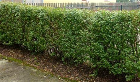 kirschlorbeer im herbst pflanzen die heckenpflege gartenflege hecken richtig pflegen buchsbaum kirschlorbeer und liguster