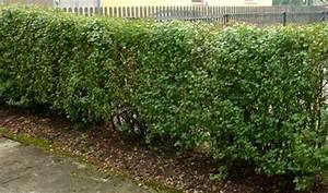 Bäume Verschneiden Obstbäume : hecken schneiden ~ Lizthompson.info Haus und Dekorationen