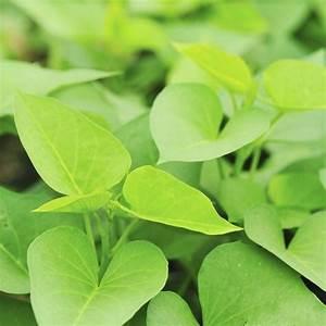 Patate Douce Plante : plante persistante liste ooreka ~ Dode.kayakingforconservation.com Idées de Décoration