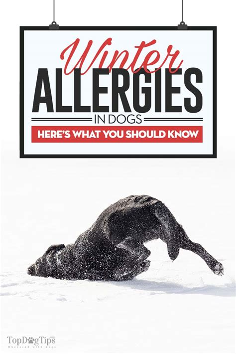 allergies winter dogs symptoms dog seasonal treatments weather causes