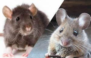 Comment Se Débarrasser Des Souris Dans Les Murs : rat ou souris comment faire la diff rence sos rongeurs ~ Melissatoandfro.com Idées de Décoration