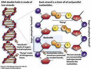 Diagram Of Dna To Print