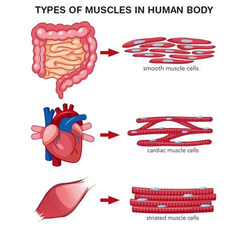 Class 9 biology  tendon &ligament fibrous connective tissue. NCERT Exemplar Class 9 Science Solutions Chapter 6 - Tissues NCERT Exemplar   Free PDF Download