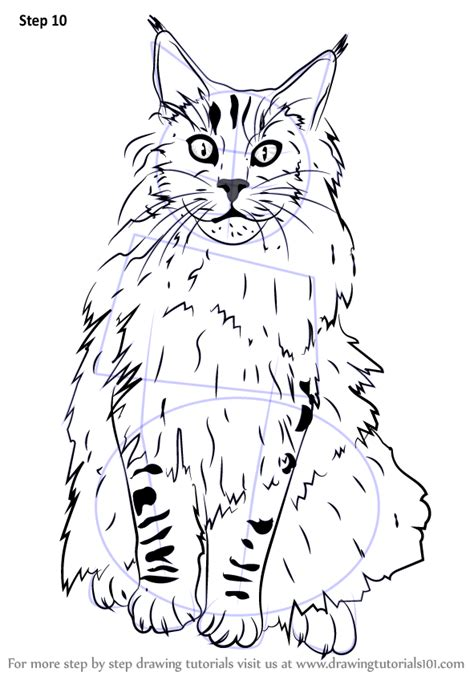 learn   draw  maine coon cats step  step