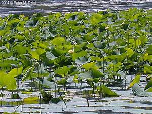Nelumbo Lutea  American Lotus   Minnesota Wildflowers