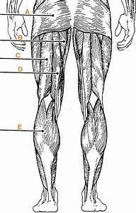 Muscle Labeling