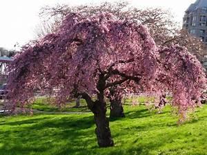Kirschbaum Kaufen 3m : kirschbaum foto bild pflanzen pilze flechten b ume natur bilder auf fotocommunity ~ Buech-reservation.com Haus und Dekorationen