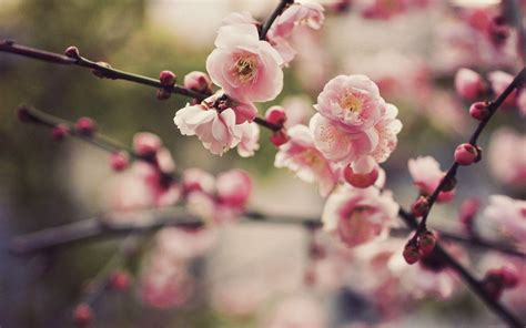 Cherry Blossom Image by Cherry Blossom Desktop Backgrounds Wallpaper Cave