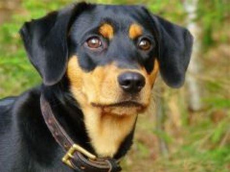 Ogrē pazudis medību suns - divus gadus vecs Latvijas dzinējs
