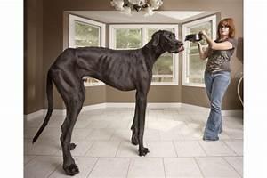 zeus-tallest-dog-guinness-world-records