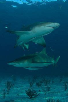 blue shark sharks  clip art  pinterest