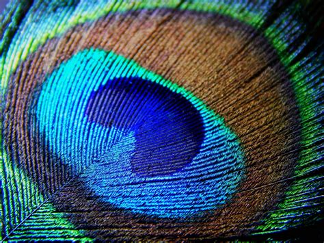 Animated Peacock Wallpapers - peacock feather backgrounds wallpaper cave
